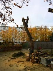 Arbeiter sägt mit einer Kettensäge auf einem Baum
