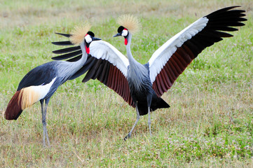 Two Black Crowned Canes performing mating dance, Ngorongoro