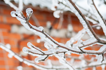 Icy branches of apple trees