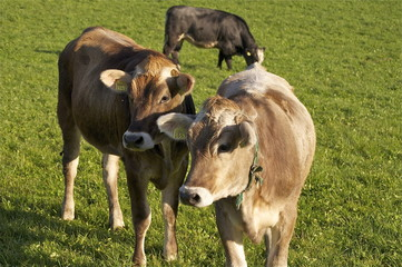 neugierige Rinder