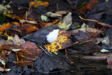 White throated Dipper (Cinclus cinclus)