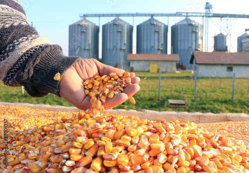 Corn grains in a hand of successful farmer after harvest - 73004357