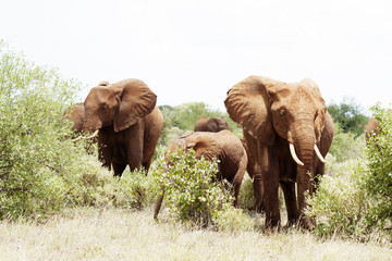 Group of elephant in african bush in Africa