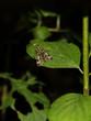 canvas print picture - Skorpions-Fliege