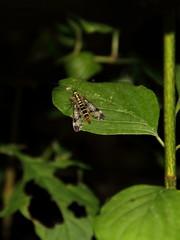 Skorpions-Fliege