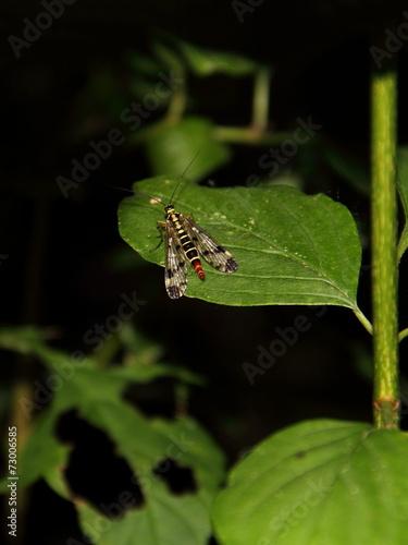 canvas print picture Skorpions-Fliege
