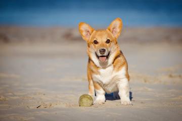 welsh corgi pembroke puppy on a beach