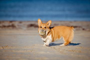 welsh corgi pembroke puppy playing with a ball