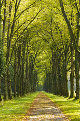 tree alley at spring with small path