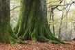 canvas print picture - Alte Bäume im Nationalpark Reinhardswald