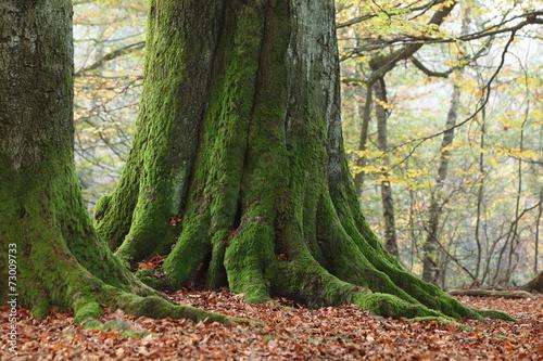 canvas print picture Alte Bäume im Nationalpark Reinhardswald