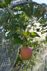 culture industrielle de pomme