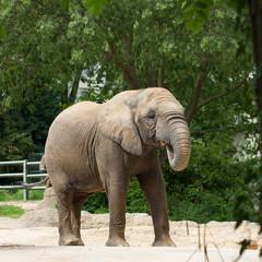 Eléphant d'Afrique de profil dans un zoo