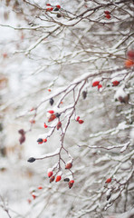 Red berries,winter nature with a snowfall
