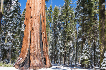 The elephant Giant Sequoia tree