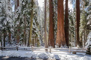 Giant Sequoia Grove II