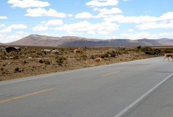 llama crossing a road in a peruvian