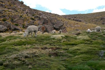 Llamas in the Andes near Arequipa