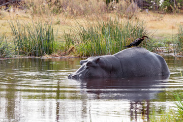 Ardea goliath perched on hippo's back