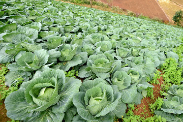 Cabbage Vegetable field on the hill in Thailand