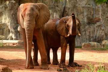 Two African elephant standing full body
