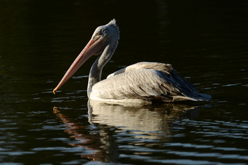 Pelican swimming with reflection on water sunset time