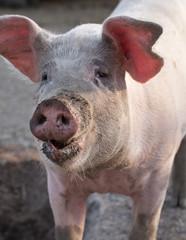 big pig snout closeup portrait