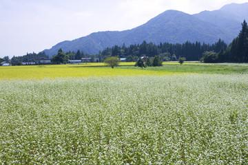 満開のソバ畑