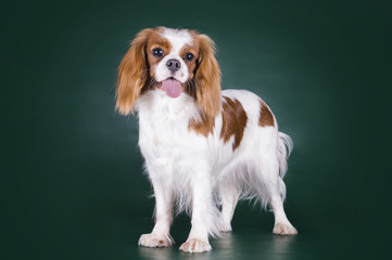 Puppy Cavalier King Charles Spaniel on a green isolated backgrou