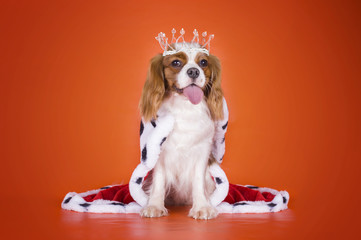 Puppy Cavalier King Charles Spaniel in a suit of the Queen on or