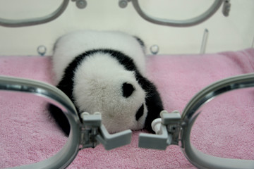 One month Cute Baby Giant panda bear sleeping Chengdu, China
