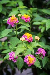 Lantana camara flowers