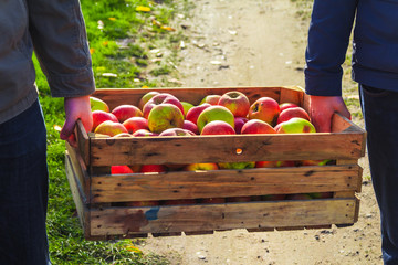 Autumn harvest apples wooden crate box carried people hand