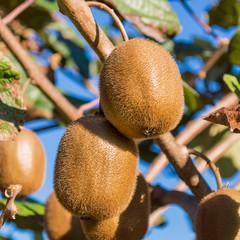 two kiwi fruits