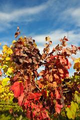 Weingarten im Herbst mit buntem Laub