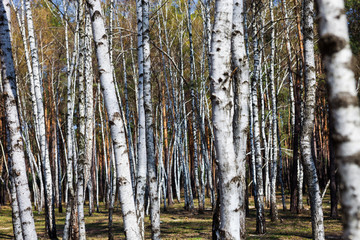 White slim birch trees in early spring