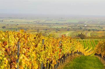 Reihe eines Weingarten im Herbst mit Kapelle