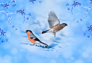 Blue winter background with bird bullfinches. Christmas card wit