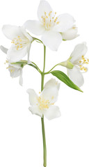 illustration with white isolated jasmine branch