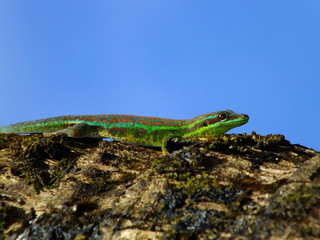 Gecko under blue sky