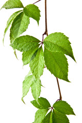 leaves of vine