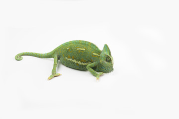 A little chameleon in a studio (isolated on white)