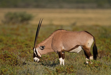 Gemsbok grazing on shrubs;oryx gazella