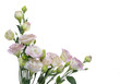 Pink lisianthus or eustoma flowers on white background
