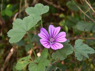 pianta di malva (Malva sylvestris)