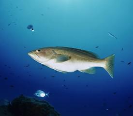 Mediterranean Sea, tunisia, Tabarka, grouper