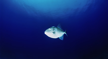 Mediterranean Sea, Trigger fish (Balistes carolinensis)