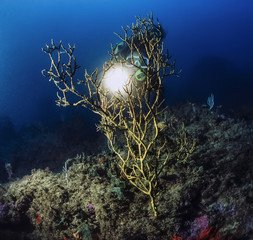 Mediterranean Sea, Black Coral (Gerardia savaglia)