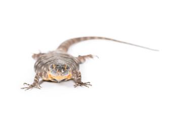 baja blue rock lizard