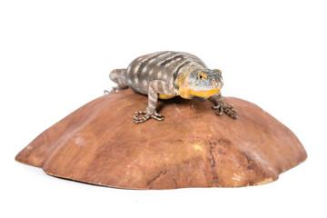 baja blue rock lizard on a rock